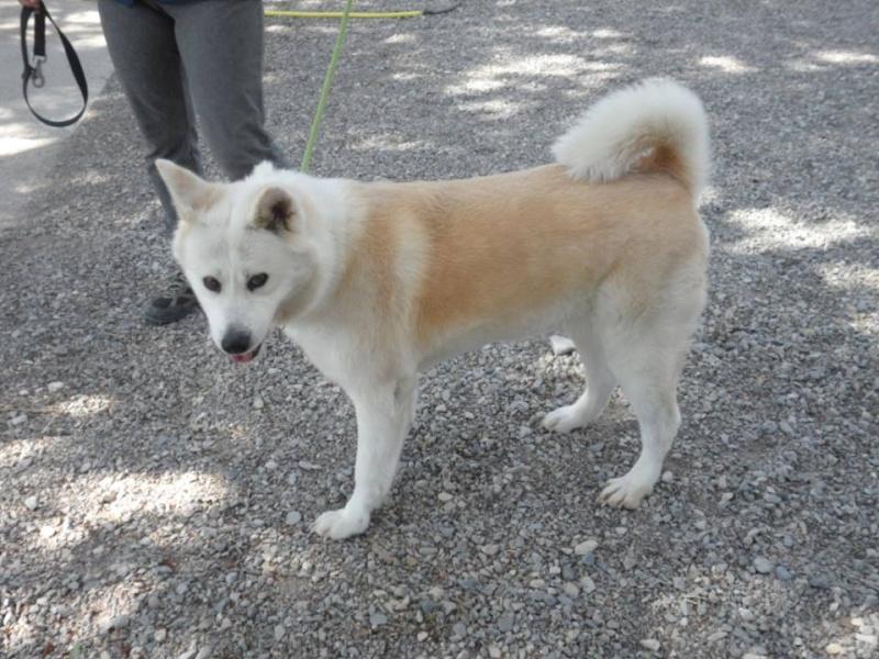 SHON akita Inu, née le 28 juillet 2007(f) REFU04  DECEDEE 10152410