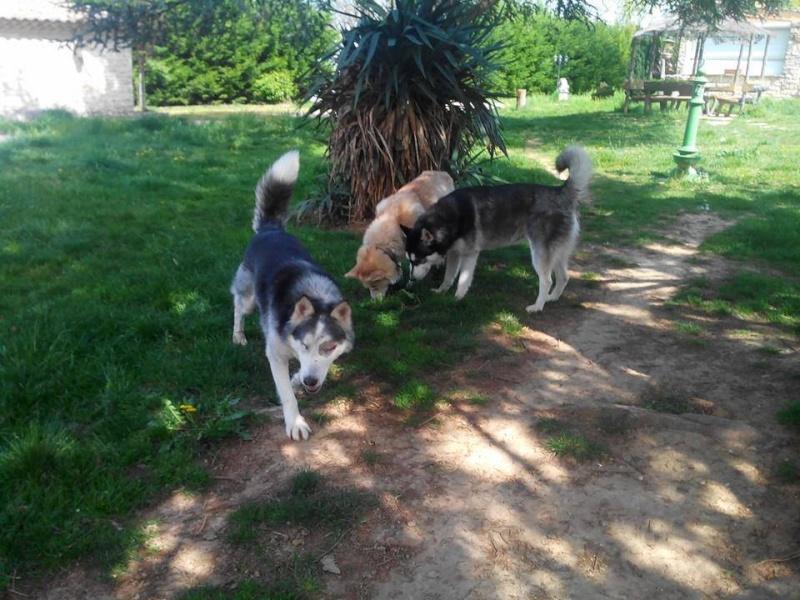 BLUE EYES  8ans, Husky sauvé de Roumanie ASSO65 - Page 2 10152510