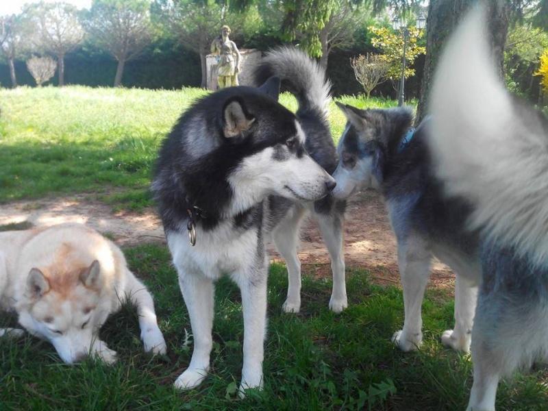 BLUE EYES  8ans, Husky sauvé de Roumanie ASSO65 - Page 2 10153810