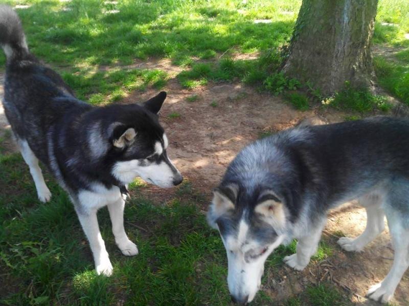 BLUE EYES  8ans, Husky sauvé de Roumanie ASSO65 - Page 2 10174910