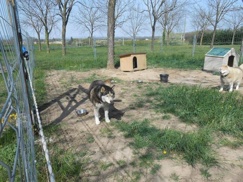 Togo, husky gris né le 25 Octobre 2002 ASSO39 - Page 2 10178110