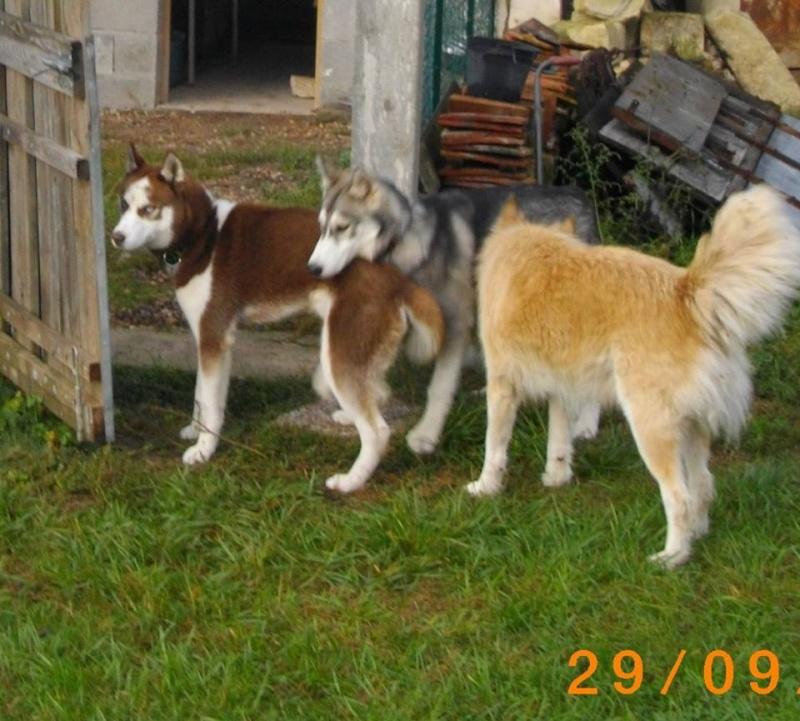 KOBE husky de sibérie (m) 8 mois marron et blanc yeux bleus PAR:33  DECEDE - Page 2 13758910