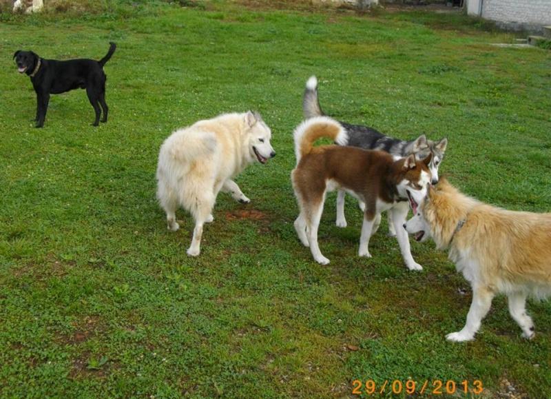 KOBE husky de sibérie (m) 8 mois marron et blanc yeux bleus PAR:33  DECEDE - Page 2 13773010