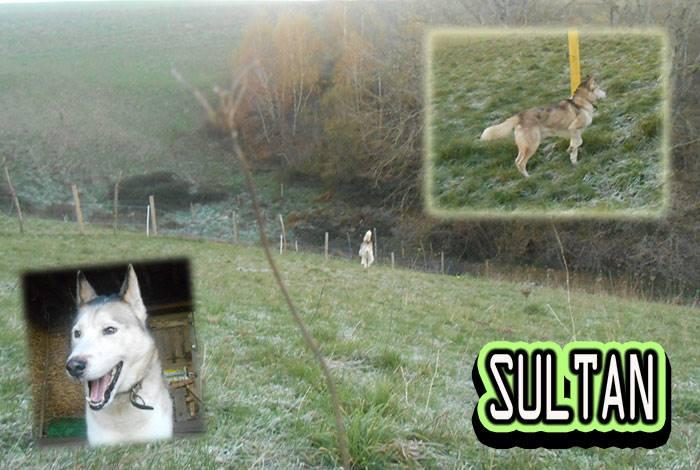 SULTAN, CLT x Husky (9 ans)  (m) vivait dans un placar, ASSO12  ADOPTE 14567410