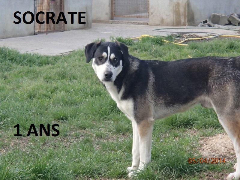 Socrate x husky (m) 1 an Né(e) le 01-01-2013. REFU82 ADOPTE 14687610