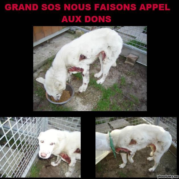 """SOS POUR FALKO HUSKY  asso """"Au Coeur Des Chats"""" ASSO76  ADOPTE 14763410"""