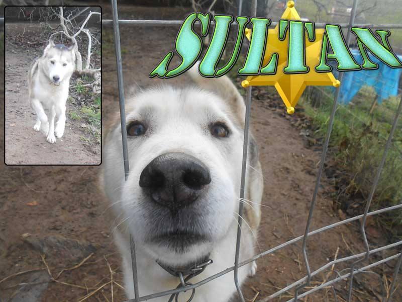 SULTAN, CLT x Husky (9 ans)  (m) vivait dans un placar, ASSO12  ADOPTE 15052510
