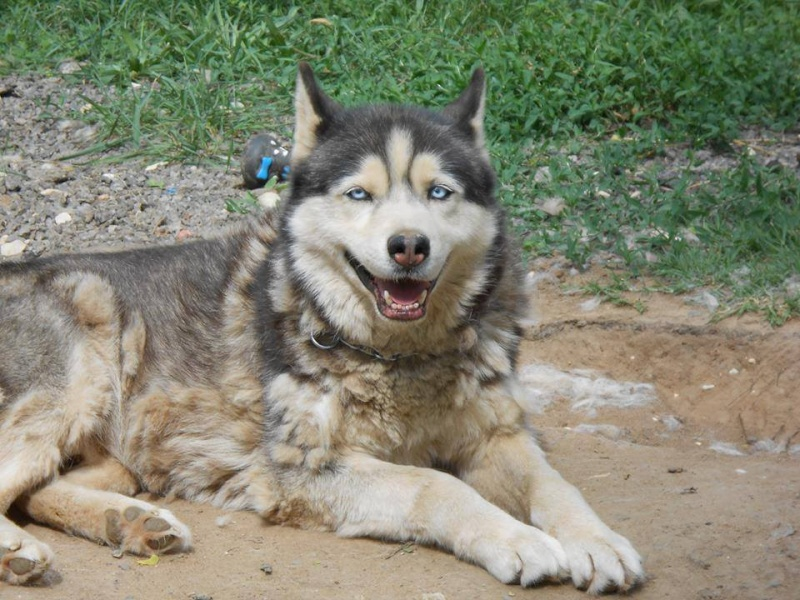 Togo, husky gris né le 25 Octobre 2002 ASSO39 - Page 2 15111715