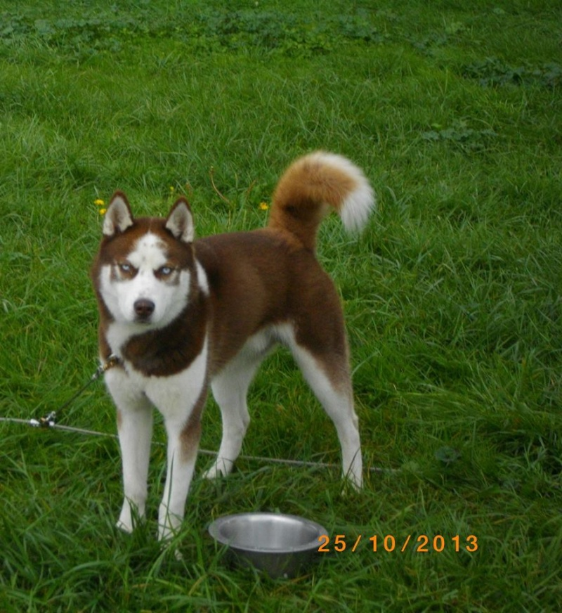 KOBE husky de sibérie (m) 8 mois marron et blanc yeux bleus PAR:33  DECEDE - Page 3 15262310
