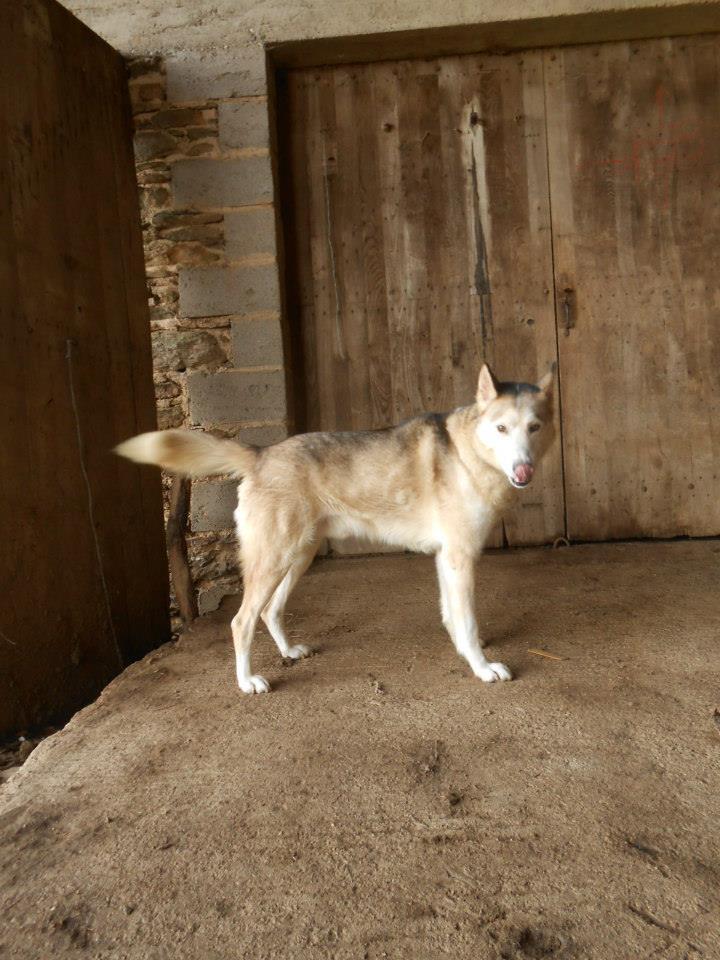 SULTAN, CLT x Husky (9 ans)  (m) vivait dans un placar, ASSO12  ADOPTE 15337610