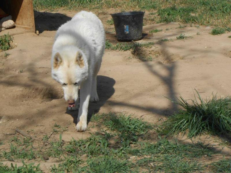 Orca, Husky, âgée de 14 ans née 20 Décembre 2000,  Eden Valley  ASSO39 - Page 3 16044510