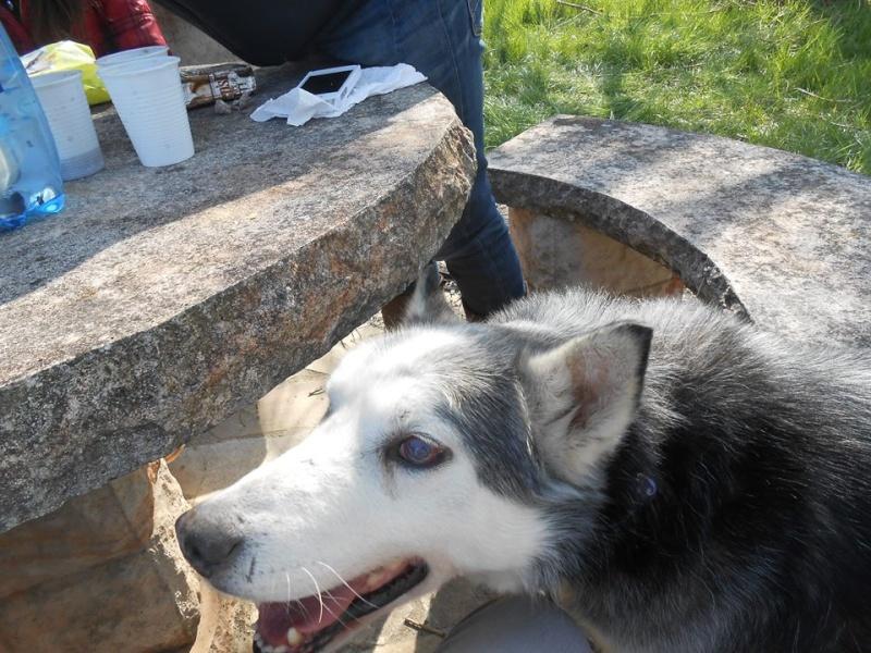 BLUE EYES  8ans, Husky sauvé de Roumanie ASSO65 - Page 2 16539810