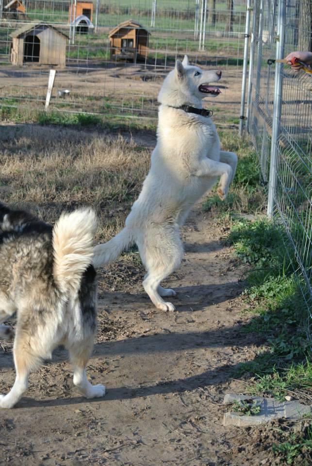 Orca, Husky, âgée de 14 ans née 20 Décembre 2000,  Eden Valley  ASSO39 - Page 3 17987210