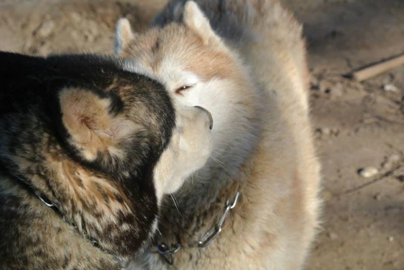 Togo, husky gris né le 25 Octobre 2002 ASSO39 - Page 2 18912010
