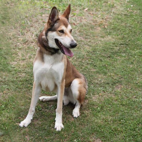Basile x husky (m) 5 ans marron et blanc REFU:28  DECEDE 500_0310