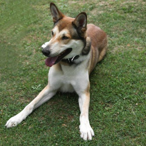 Basile x husky (m) 5 ans marron et blanc REFU:28  DECEDE 500_b710