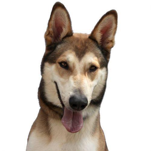 Basile x husky (m) 5 ans marron et blanc REFU:28  DECEDE 500_d910