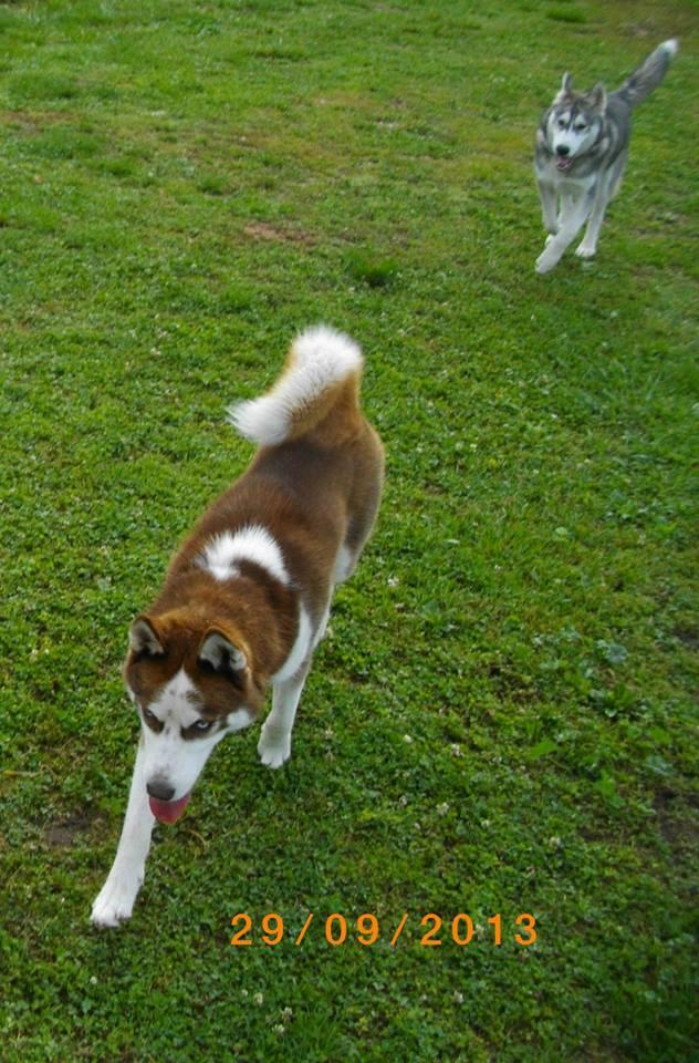 KOBE husky de sibérie (m) 8 mois marron et blanc yeux bleus PAR:33  DECEDE - Page 2 62551910