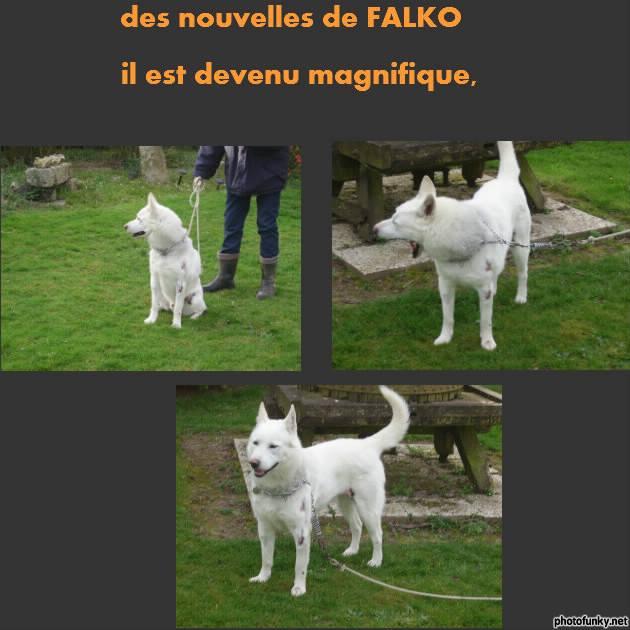 """SOS POUR FALKO HUSKY  asso """"Au Coeur Des Chats"""" ASSO76  ADOPTE 98882911"""