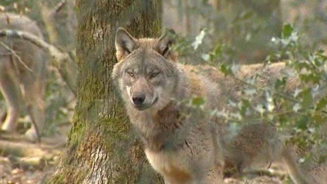 Un loup tué par balle dans la Marne Loup_110