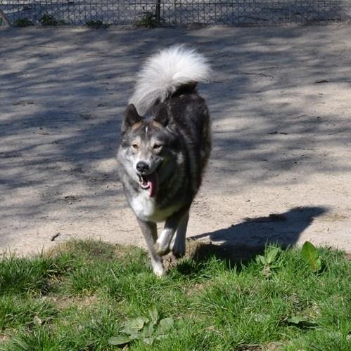 MAYTOOK type husky gris et blanc sociable 11/2011 REFU69 Adopté Mars2011