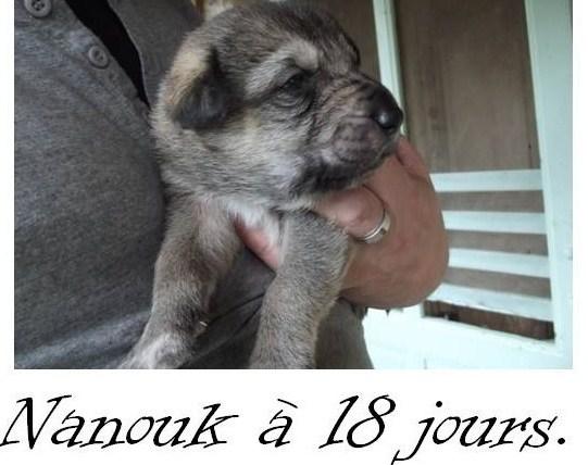 belle croisée chien loup tchèque.  PaSuall Montag10