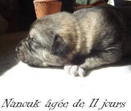 belle croisée chien loup tchèque.  PaSuall Nanouk10