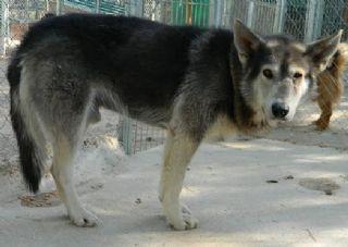 TEX x husky 02/01/2005 ok enfants, chiens ASSO Galgos France - Page 3 P1110910