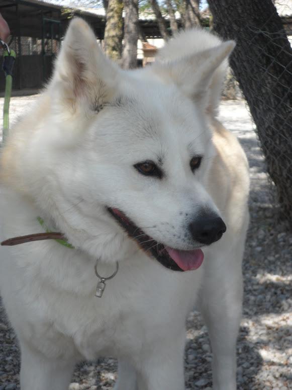 SHON akita Inu, née le 28 juillet 2007(f) REFU04  DECEDEE Sam_6310