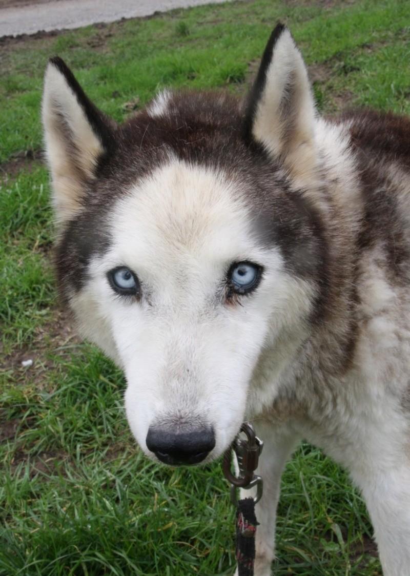 SORYANN Husky douce et sociable avec ses congénères. 14 ans  REFU29  DECEDEE Soryan10