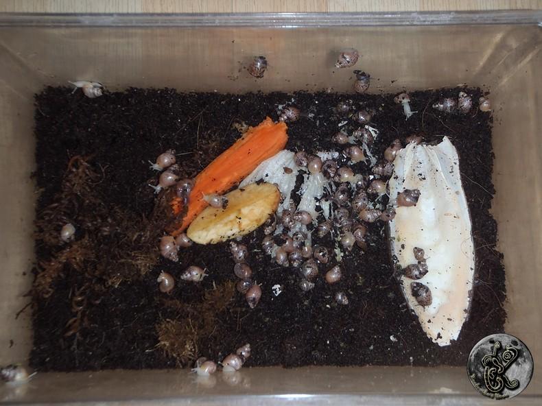 bébés lissachatinas fulica rodatzi, jadatzi, white jade et communs à vendre (edit: VENDUS) - Page 2 001-bo18