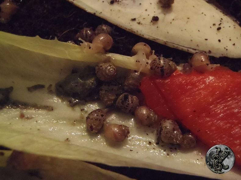 bébés lissachatinas fulica rodatzi, jadatzi, white jade et communs à vendre (edit: VENDUS) - Page 2 002-bo15