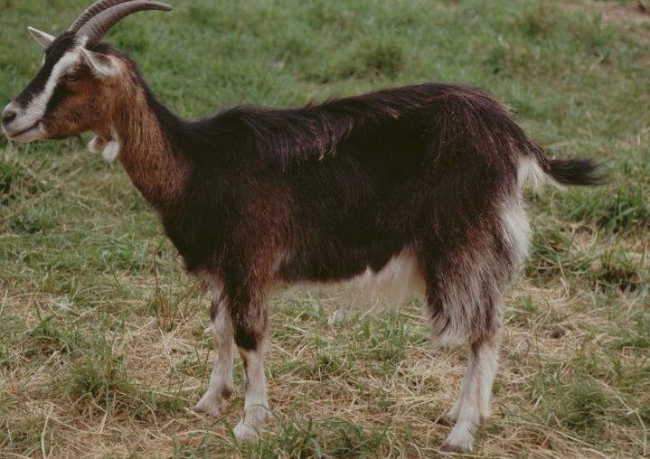 Législatives, comment faire élire une chèvre 9_chyv10