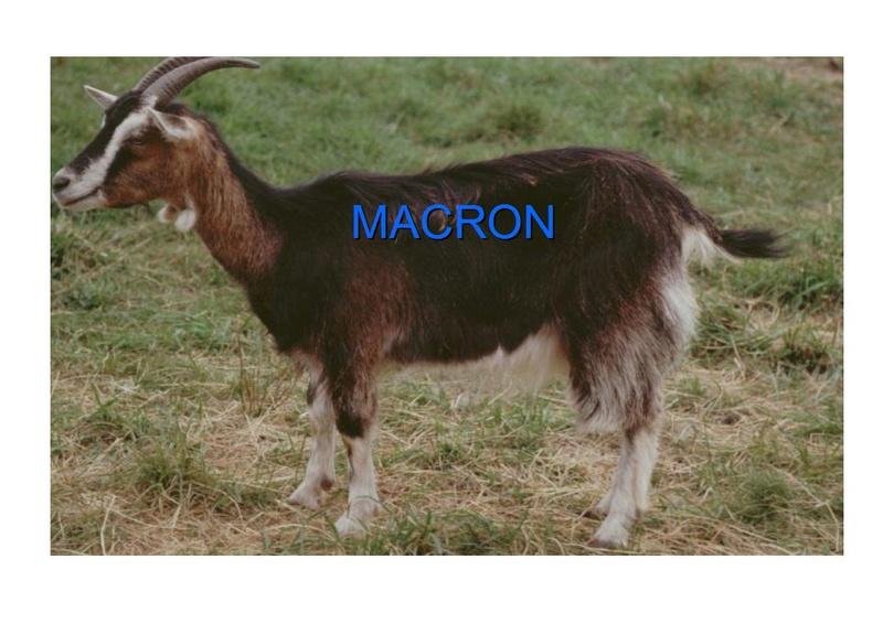 Législatives, comment faire élire une chèvre 9_chyv11