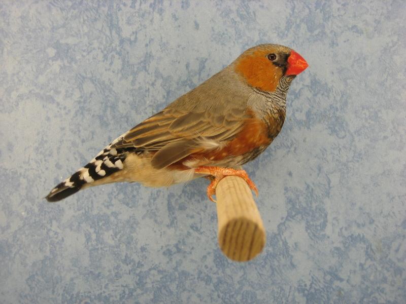 Jeune mâle gris black-face poitrine orange porteur poitrine noire Img_0210