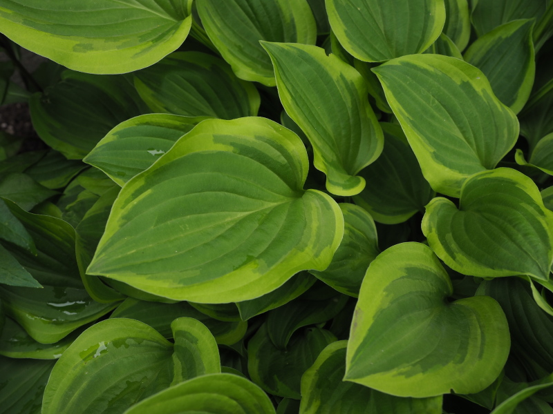 Guide d'identification: Hostas par photos - Page 3 Hosta_59