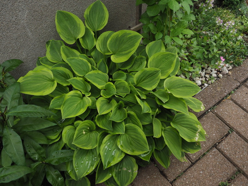 Guide d'identification: Hostas par photos - Page 3 Hosta_61