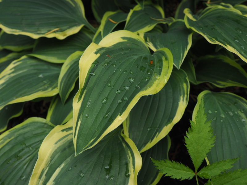Guide d'identification: Hostas par photos - Page 3 Hosta_63