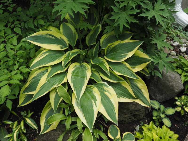 Guide d'identification: Hostas par photos - Page 3 Hosta_64