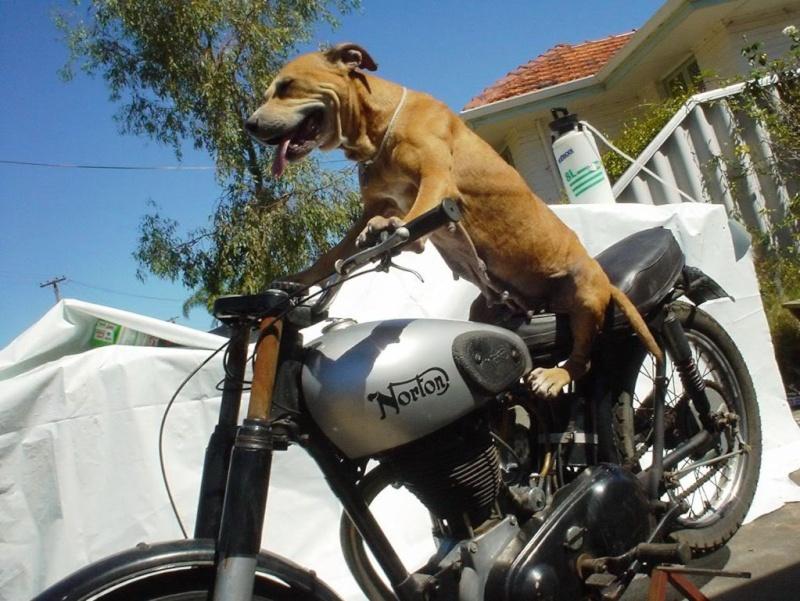 brave chien Attitu42