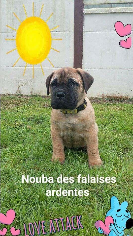 Nouba,chiot femelle,volée dpt 22, puce 250269606804422 Nouba10