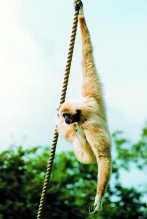 Uchmé 50GP Gibbon10