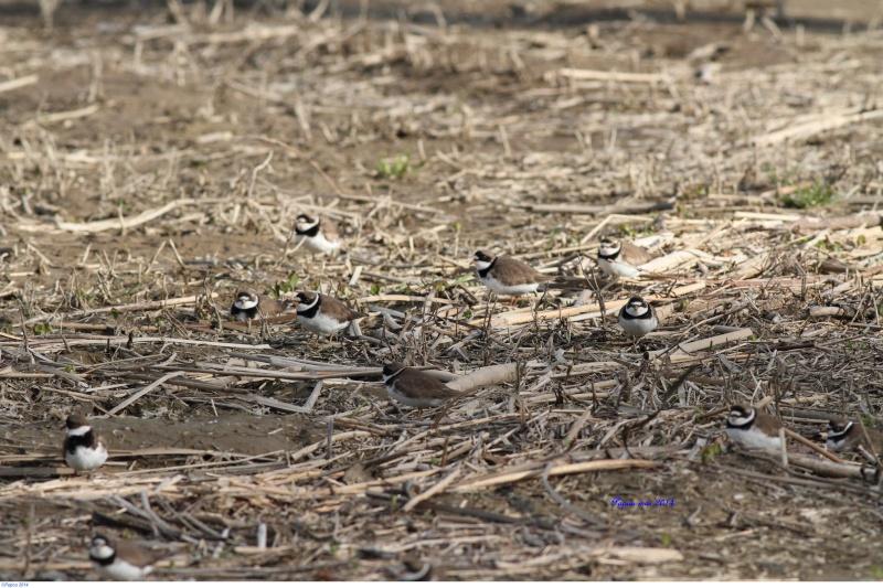 La migration des limicoles commencent a arrivé... Papou461