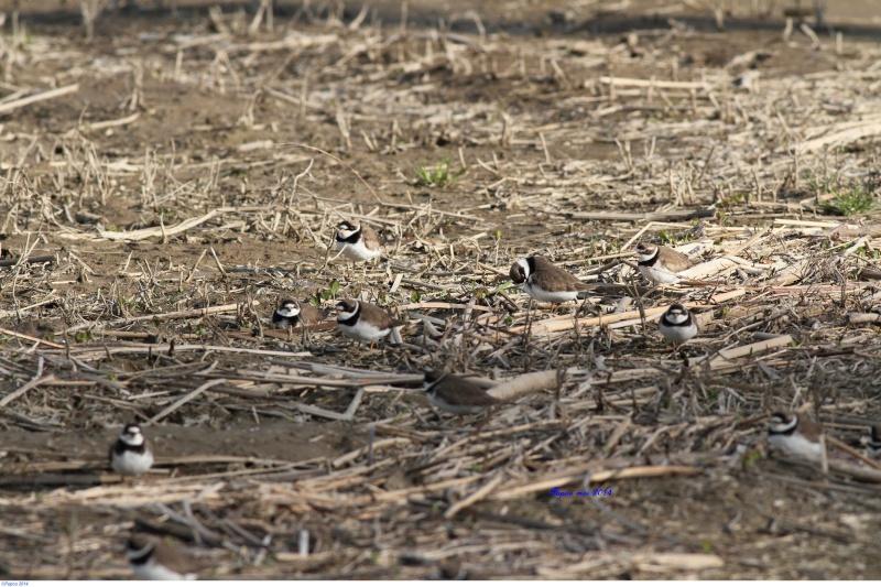 La migration des limicoles commencent a arrivé... Papou462