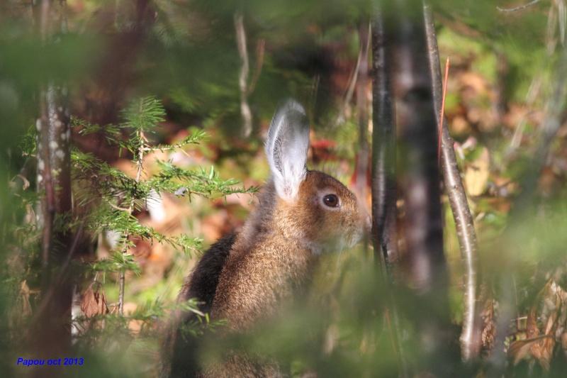 un rabbit, deux rabbits Papou_27