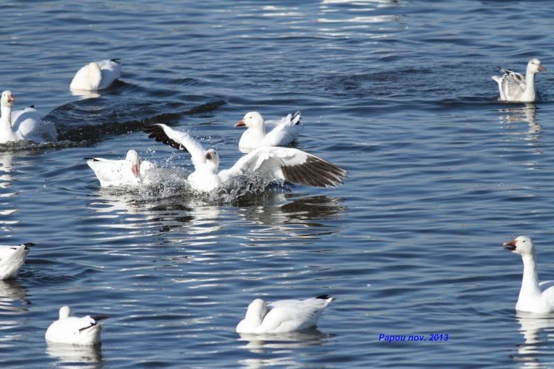 Amérissage(Splash) et en vol ... Papou_45