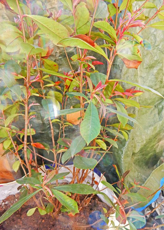 identification d'un arbuste. 310