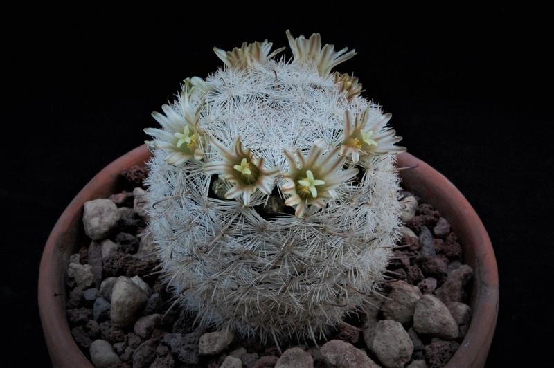 Mammillaria gasseriana -2017010