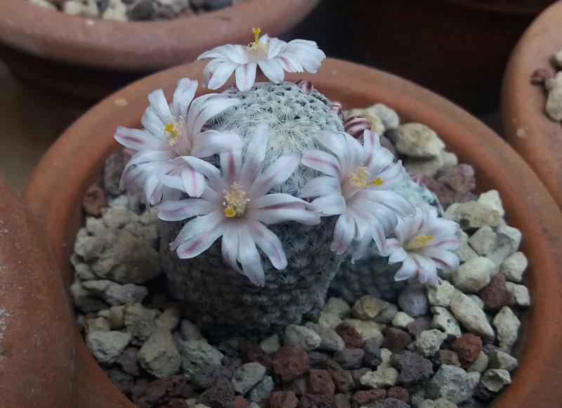 Mammillaria sanchez-mejoradae 20170410
