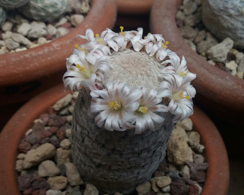 Mammillaria sanchez-mejoradae 20170411